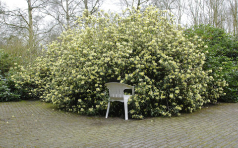 White Chair / Rododendron